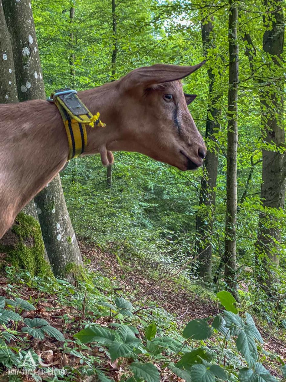 Ziegenwandern Vulkanhof Eifel